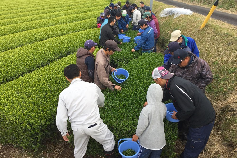 Prayer for an Abundant Tea Harvest and Growth